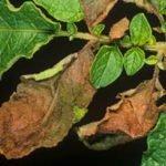Болезнь картофеля фитофтороз