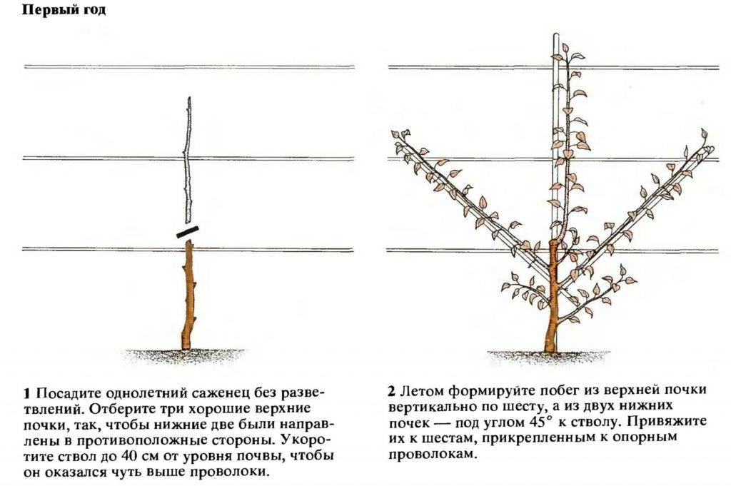 Формирование кроны «пальметта»