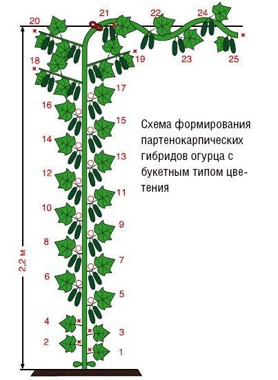 Формирование огурца с букетным типом цветения