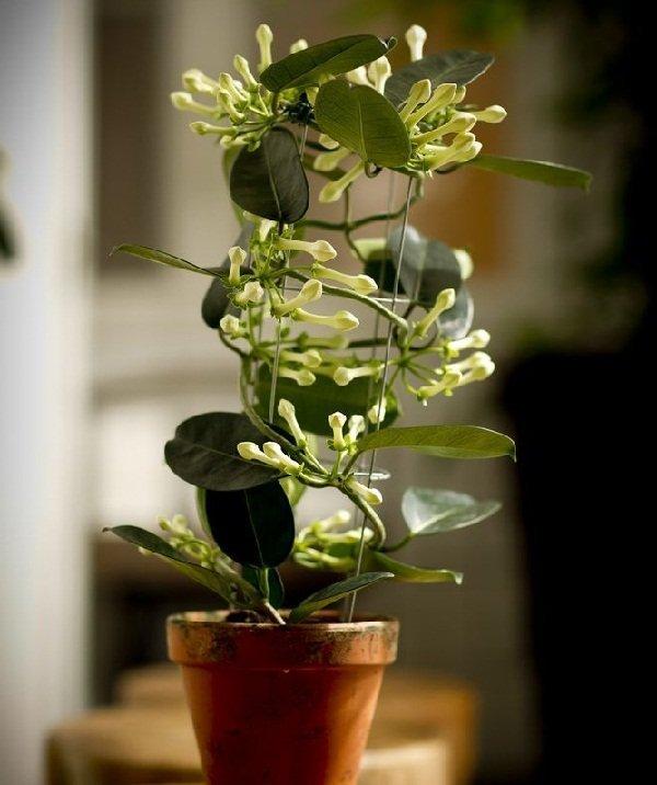 Цветок стефанотис и описание