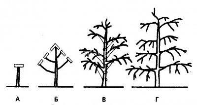 Формирование веретенообразной кроны груши