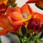 Фрезия махровая оранжевая