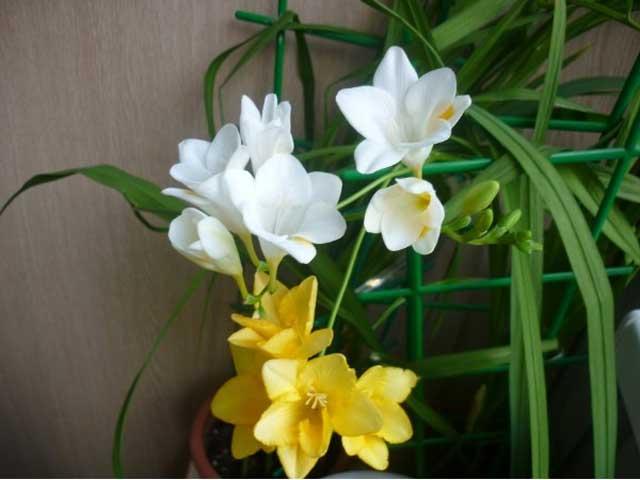 Фрезия в домашнем цветнике