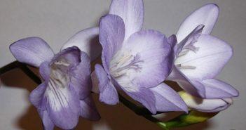 Фрезия - воистину королевский цветок!