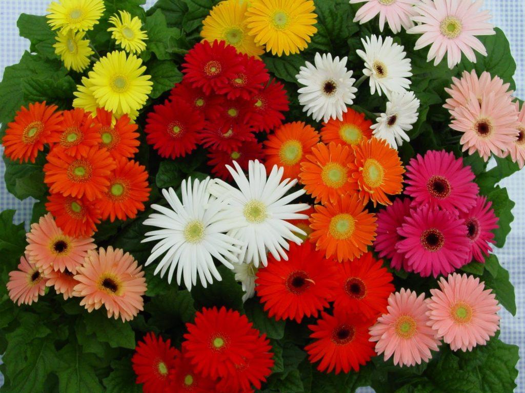 герберы различных цветов