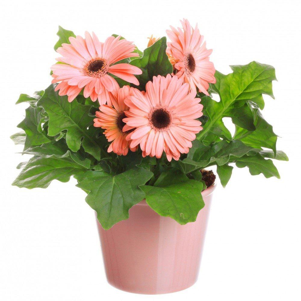 Комнатные цветы в горшках купить недорого в ОБИ, цены на 65