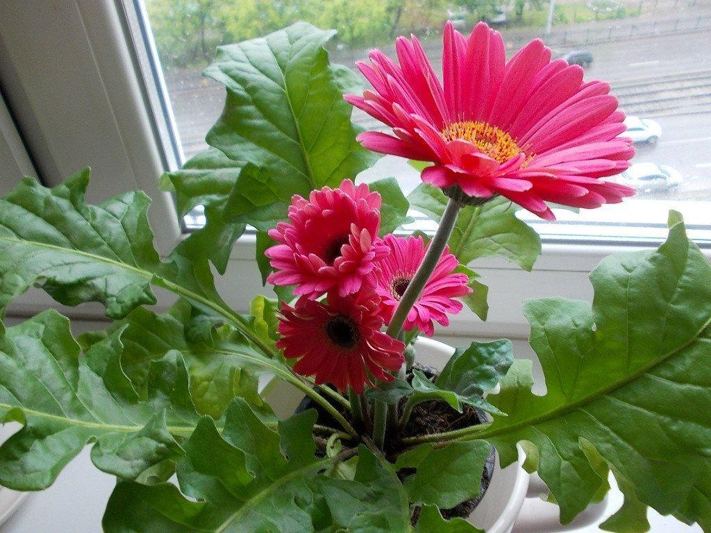 Уход за комнатным цветком герберой