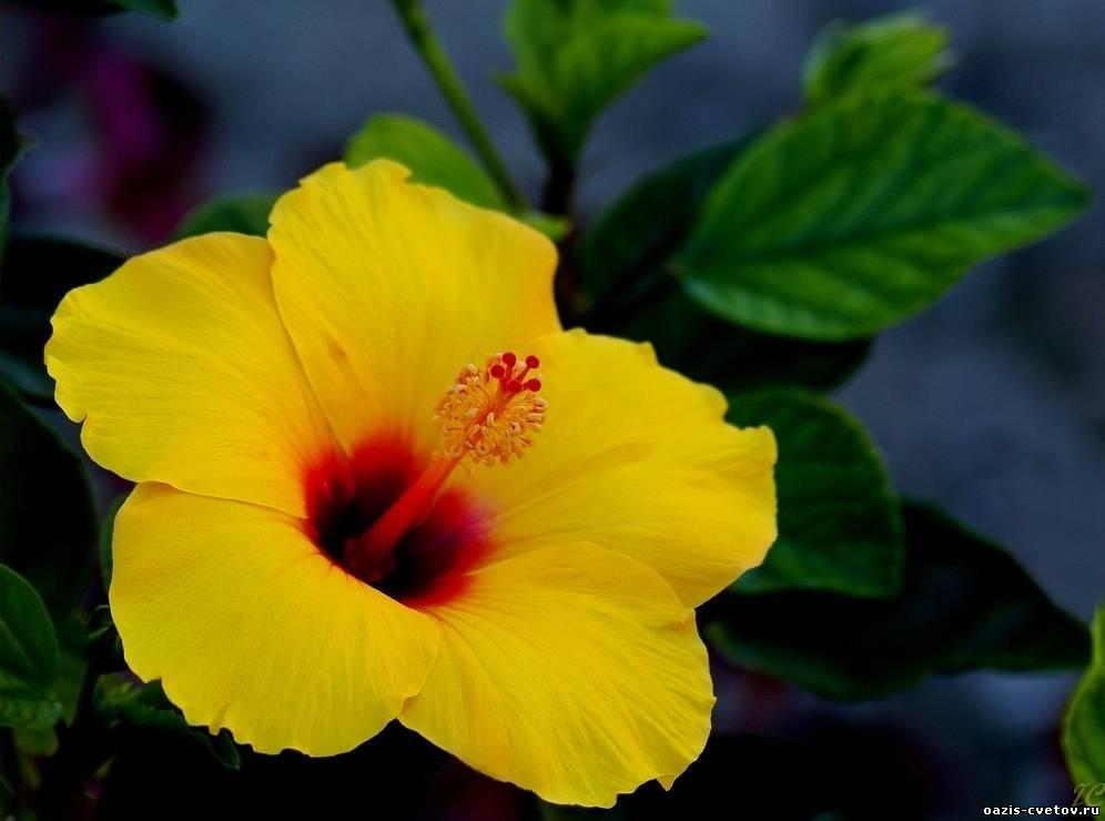 Комнатный растение с цветами 49