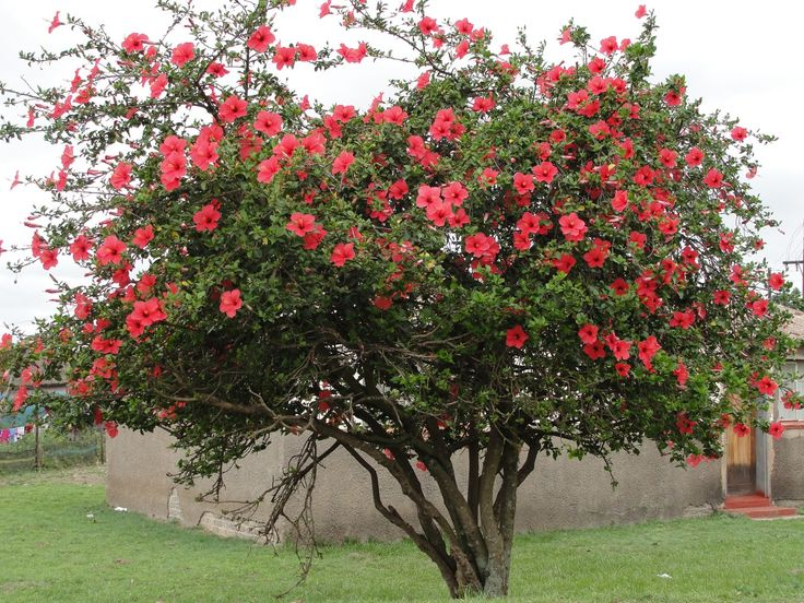 Дерево гибискуса