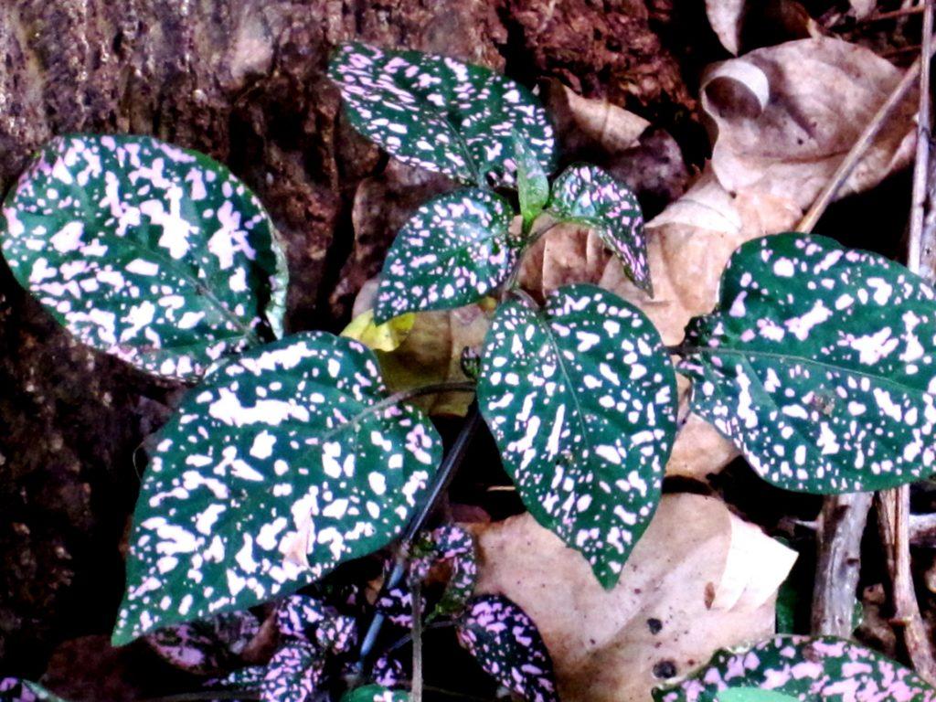 Гипоэстес в лесу
