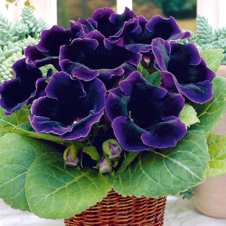 Комнатные цветы фото глоксиния уход в домашних условиях фото