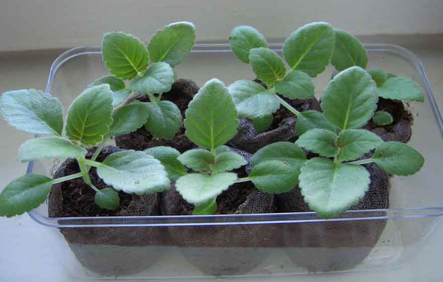 глоксиния из семян