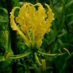 Глориоза роскошная жёлтая