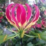Глориоза роскошная лиловая