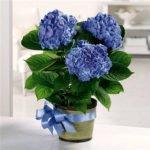 Гортензия комнатная голубая