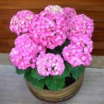 гортензия комнатная розовая
