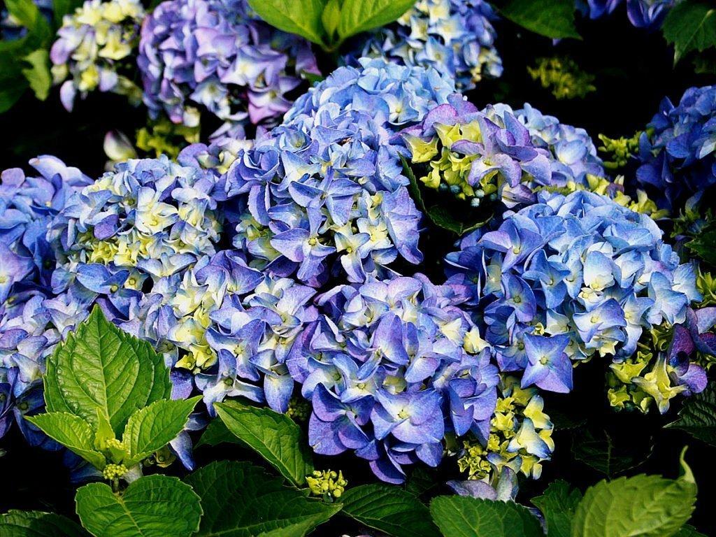Гортензия крупнолистная — сорт Early Blue
