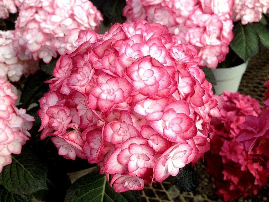 Гортензия крупнолистная сорт — Miss Saori