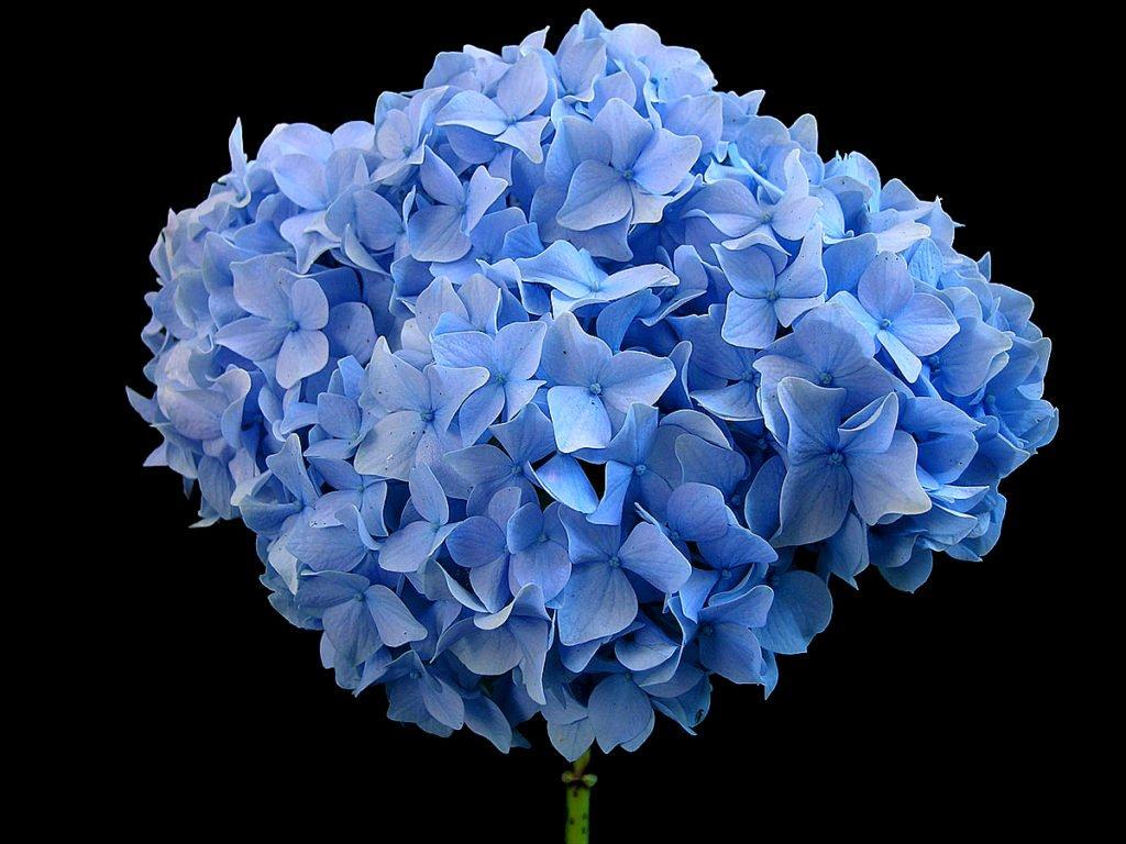 Гортензия крупнолистная — сорт Nikko Blue