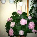 Гортензия — растение теневыносливое