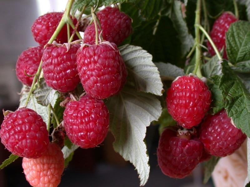 Гроздь ягод малины Геракл
