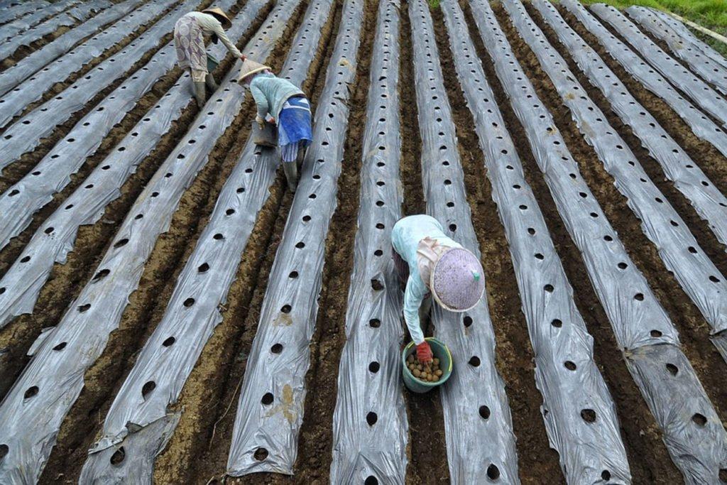 Гряды для посадки картофеля