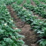 Картофельные гряды