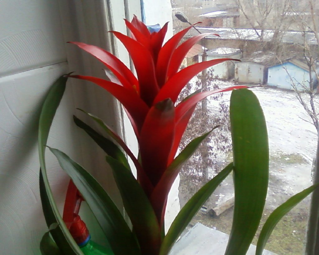 Гузмания на окне зимой