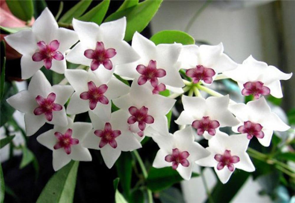 Хойя цветы