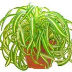 Хлорофитум кудрявый (Бонни)