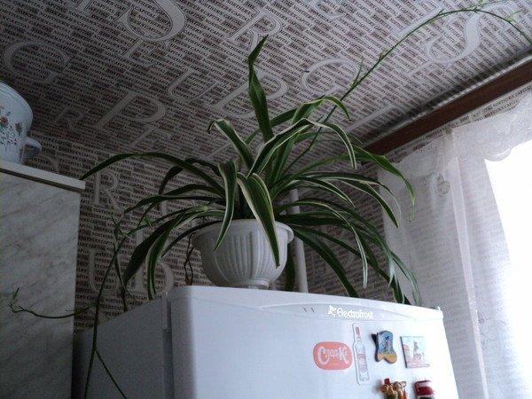 Хлорофитум на холодильнике