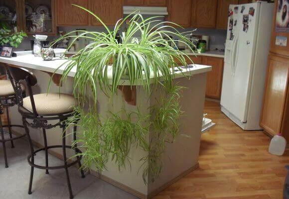 Хлорофитум на кухне