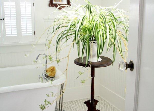 Хлорофитум в интерьере ванной комнаты