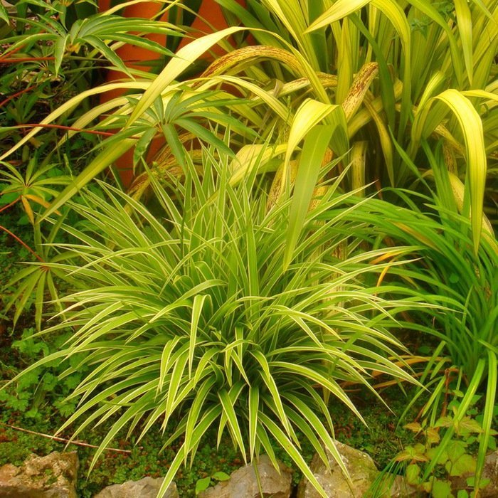 Хлорофитум в природных условиях