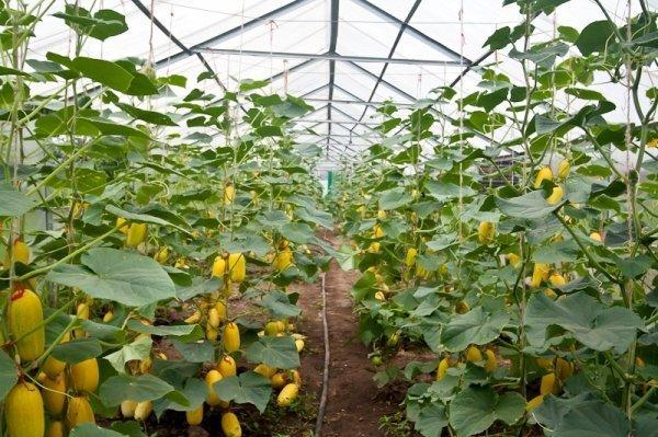 Вертикальный способ выращивания кабачков