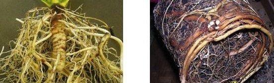 Корни кордилины и драцены