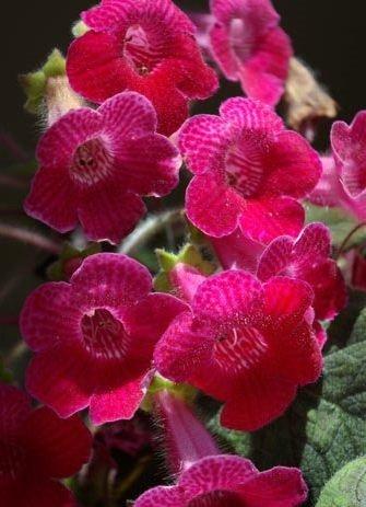 Цветущая розовая колерия