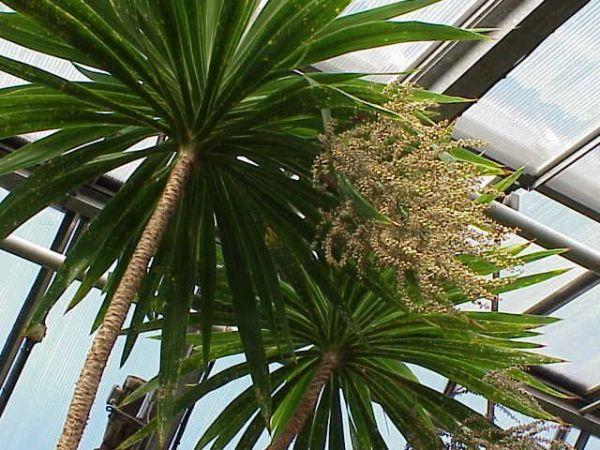 Корделина похожая на пальму