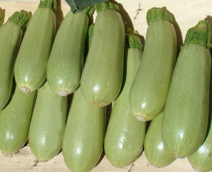 Урожай кабачков Искандер