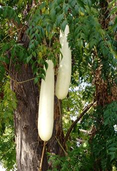 Кабачковое дерево