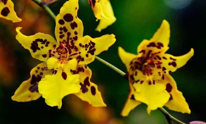 Жёлтые цветки Камбрии