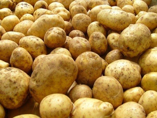 Сорт картофеля Каратоп