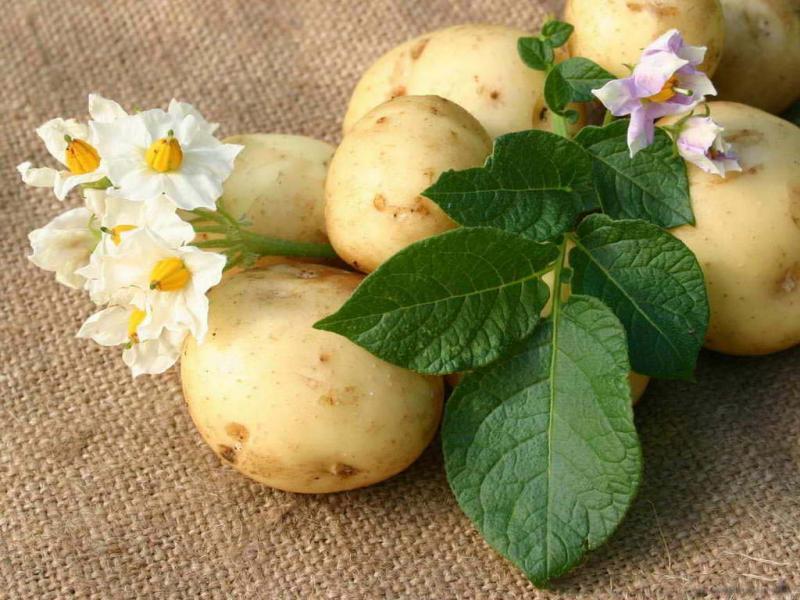 картофель клубни цветы