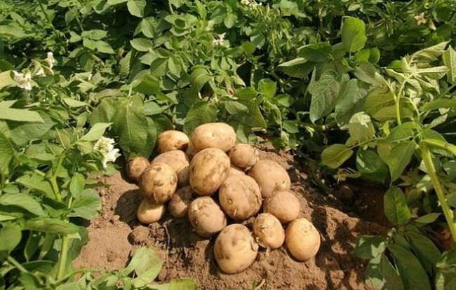 Урожай картофеля Метеор