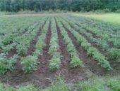картофель под дождем