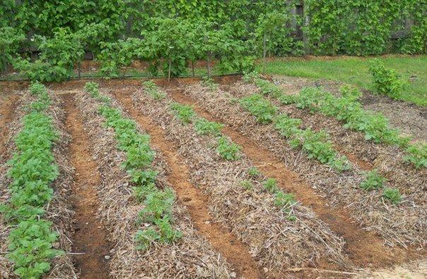 Картошка под соломой - как сажать и как ухаживать
