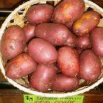 Картофель Ред Соня в корзине