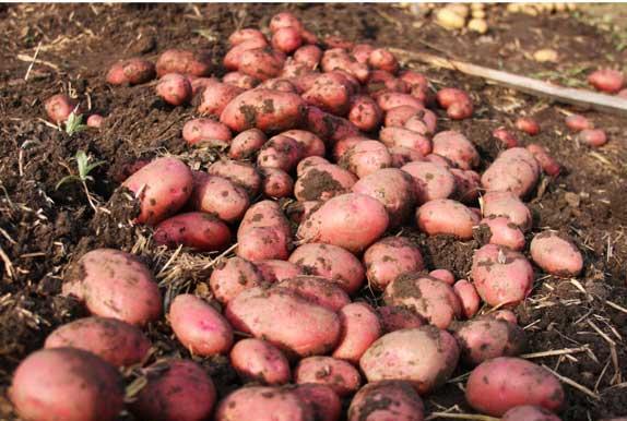 Картофель Розара на грядке