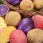 Разноцветные клубни картофеля Салют