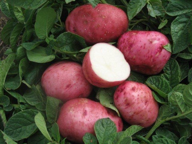 Картофель сорта Беллароса